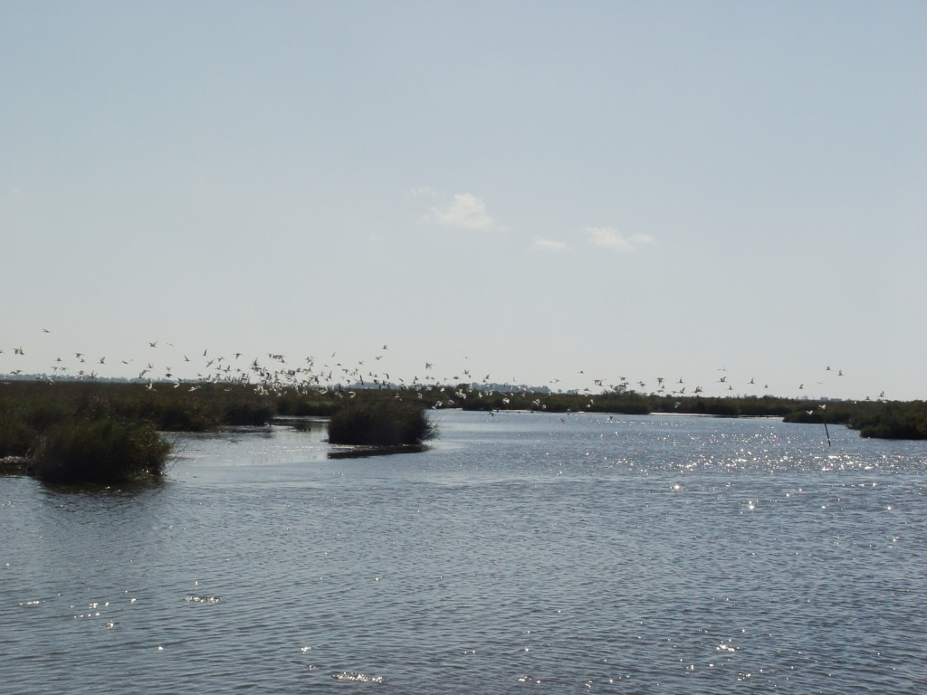 birds-over-Grand-Bayou-marsh